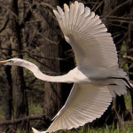 Great Egret Grandeur